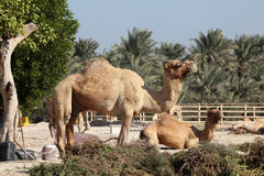 Camel farm in Bahrain Stock Photo