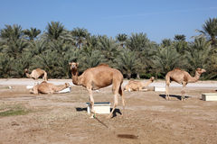 Camel farm in Bahrain Royalty Free Stock Photography