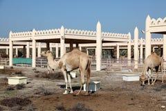 Camel farm in Bahrain Stock Image