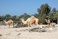 Camel farm in Bahrain Royalty Free Stock Images