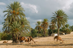 Camel farm on DJerba. Inside Djerba Island - Tunis predominant sandy soil where there is very little vegetation. In spite of the difficult conditions Kamila is royalty free stock photos
