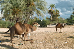 Camel farm on DJerba Royalty Free Stock Photo