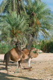 Camel farm on DJerba. Inside Djerba Island - Tunis predominant sandy soil where there is very little vegetation. In spite of the difficult conditions Kamila is stock image