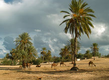 Camel farm on DJerba Stock Photography
