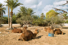 Camel farm on DJerba. Inside Djerba Island - Tunis predominant sandy soil where there is very little vegetation. In spite of the difficult conditions Kamila is royalty free stock photography