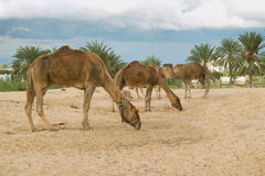 Camel farm on DJerba. Inside Djerba Island - Tunis predominant sandy soil where there is very little vegetation. In spite of the difficult conditions Kamila is stock photos
