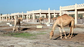 Camel farm Royalty Free Stock Images