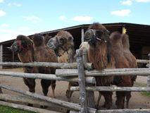 Camel on a farm in the nomad ethnic Park of the Moscow region, a clear day royalty free stock photo