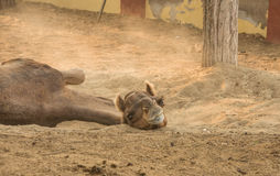 Camel on a farm in Rajasthan Royalty Free Stock Photo
