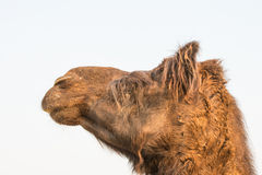 Camel on a farm in Rajasthan Stock Photography