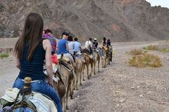 Camel farm, ride in desert at Eilat, Southern Negev desert, wilderness of Israel stock images