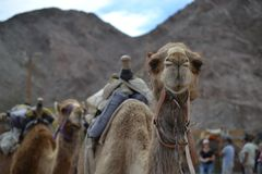 Camel front view, at Camel farm, ride in desert at Eilat, Southern Negev desert, wilderness of Israel. Camel farm, ride in desert at Eilat, Southern Negev stock images