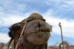 Camel front view, at Camel farm, ride in desert at Eilat, Southern Negev desert, wilderness of Israel. Camel farm, ride in desert at Eilat, Southern Negev stock photo