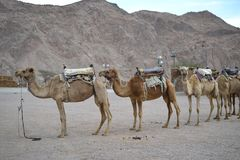 Camel farm, ride in desert at Eilat, Southern Negev desert, wilderness of Israel. Camel farm, ride in desert at Eilat, Southern Negev, Israel stock image