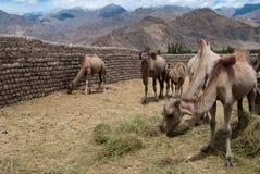 Bactrian camel refuge Royalty Free Stock Photo
