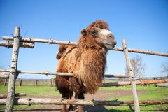 Camel on the farm Royalty Free Stock Photography