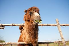 Camel on the farm Royalty Free Stock Photos
