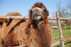 Camel on the farm Stock Photos