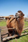 Camel on the farm Stock Image