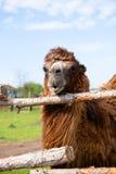 Camel on the farm Stock Photo