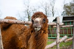 Camel on the farm Royalty Free Stock Images