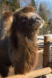 The camel on farmstead in the open-air cage eats a grass Stock Images