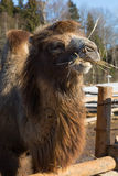 The camel on farmstead in the open-air cage eats a grass Royalty Free Stock Images
