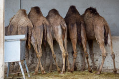 Camel feeding on farm Stock Image