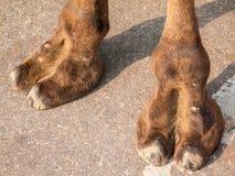 Camel Feet Stock Photography