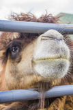 Camel of the fence. Royalty Free Stock Photos