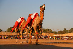 Camel festival. Members of an indian army presenting their skill at riding a camels during camel festival in Jaislamer, India Royalty Free Stock Photo