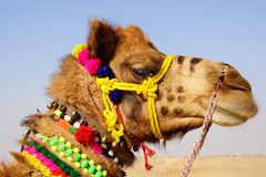 Camel Festival in Bikaner, India Royalty Free Stock Photography