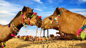 Camel Festival in Bikaner, India. Picturesque nature landscape with Camel. Bikaner, India royalty free stock photos