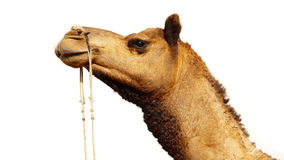 Camel Festival in Bikaner, India Royalty Free Stock Photos