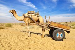 Camel Festival in Bikaner, India. Landscape with Camel in Bikaner, India Royalty Free Stock Image