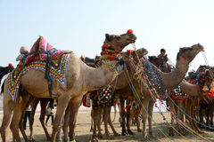 CAMEL FESTIVAL  BIKANER 2017. CAMEL  FESTIVAL when the ships of the desert are seen at their best. Camels fascinate tourists from all over the world with their Royalty Free Stock Photography