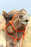 Camel during festival in Pushkar. Pushkar Camel Fair - camel during festival in Pushkar India Stock Image