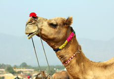Camel during festival in Pushkar Stock Images