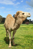 Camel in field Royalty Free Stock Photography
