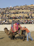 Camel fight. Is a traditional event in Turkey. Aegean, Mediterranean and Marmara regions become traditional in the 200 years of the Camel Wrestling Festival, is stock photography