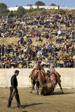 Camel fight. Is a traditional event in Turkey. Aegean, Mediterranean and Marmara regions become traditional in the 200 years of the Camel Wrestling Festival, is royalty free stock photography