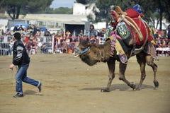 Camel fight Royalty Free Stock Photo