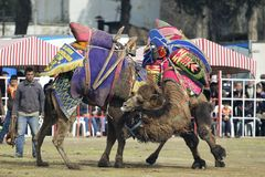 Camel fight Stock Image