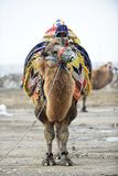 Camel fight. Is a traditional event in Turkey. Aegean, Mediterranean and Marmara regions become traditional in the 200 years of the Camel Wrestling Festival, is stock photo