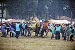 Camel fight Stock Photo