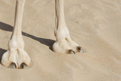 Camel Foot. Close-up of Camel Feet & leg, Desert, Abu Dhabi, UAE stock photo