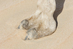 Camel Foot Royalty Free Stock Image