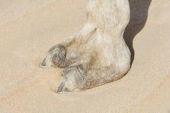 Camel Foot. Close-up Camel Foot, leg, Desert, Abu Dhabi, UAE royalty free stock image
