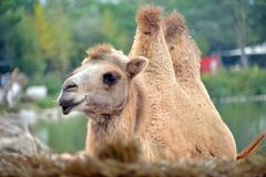 A camel in the foreground. Looks towards the camera photo Stock Image