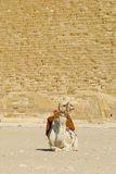 Camel in front of Giza Pyramid Egypt Royalty Free Stock Photos